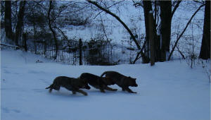 VDS Puppies in the snow